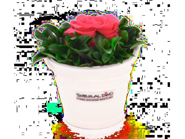 Stabilizovaná růže Pink